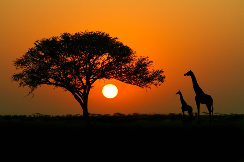 A picture of a bright orange African sunset on a dark plain with the wide branches of an Acacia tree on the left and two giraffes silhouetted on the right.